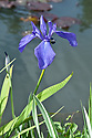 Iris ensata 'Tsure-kamome', late May.