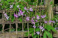 Clematis, garden fence, Washington