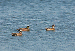American wigeons swimming at Fisherman Bay on Lopez Island in the San Juan islands