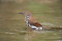 582000058 a wild long-billed thrasher toxostoma longirostrr bathes in a small pond on dos venadas ranch rio grande valley texas