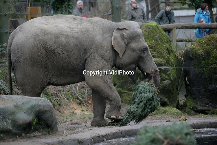 Foto: VidiPhoto..ARNHEM - De olifanten van Burgers' Zoo in Arnhem hebben donderdag een feestmaal van kerstbomen gekregen. Burgers heeft donderdag honderden niet verkochte kerstbomen ontvangen van diverse Nederlandse tuincentra. Voor de dieren in Burgers' Zoo vormen die een welkom extraatje als voedsel en als gedragsverrijking.
