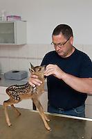 Rehkitz, verwaistes, wenige Tage altes Jungtier beim Tierarzt zur allgemeinen Kontrolle, Reh-Kitz, Kitz, Tierkind, Tierbaby, Tierbabies, Europäisches Reh, Ricke, Weibchen, Capreolus capreolus, Roe Deer, Chevreuil