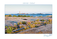 Wildflowers on the skerries surrounding Söderskär lighthouse in the Gulf of Finland east of Helsinki.