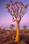 Quiver tree or kokerboom (Aloidendron dichotomum), Quiver Tree Forest (Kokerboom Woud) National Monument, Namibia