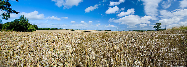 Corn Field Nr Duns, Scottish Borders