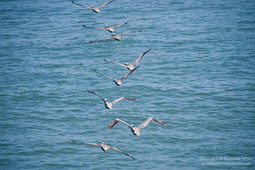 La Jolla Cove, San Diego, California; eight Brown Pelican (Pelecanus occidentalis) birds flying in single file formation over the Pacific Ocean