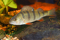 Flussbarsch, Flußbarsch, Fluss-Barsch, Barsch, Kretzer, Perca fluviatilis, European perch,redfin perch, English perch