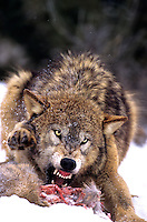 694926380 a captive gray wolf canis lupus defends part of a deer carcass during a light snowstorm in winter - species is endangered and native to the western united states canada and alaska