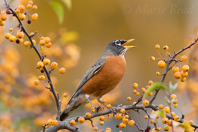 America Robin (Turdus migratorius) calling while perched amid yellow crabapples (Malus sp.) in autumn, Ithaca, New York, USA