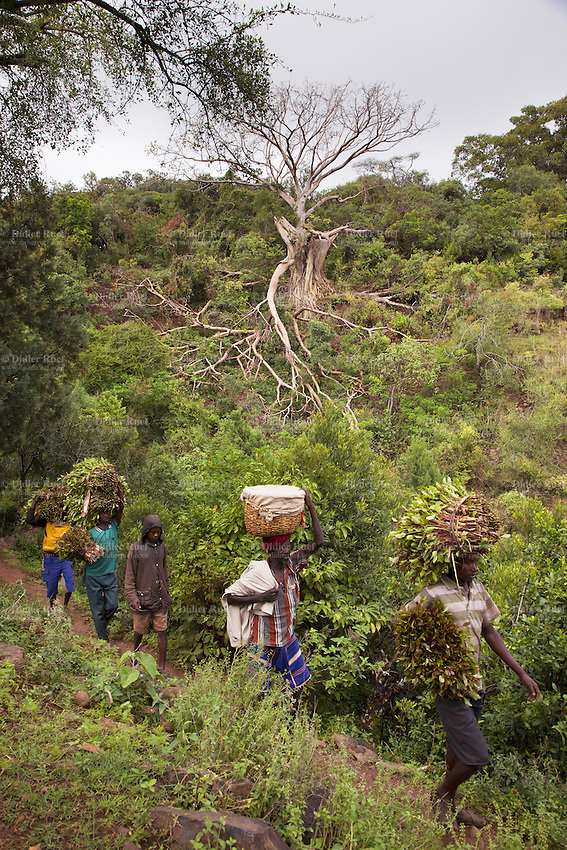 Ethiopia. Southern Nations, Nationalities, and Peoples' Region. Karat village. Konso tribe. A group of men walk on a hill's path. They carry khat on their arms and heads. They will sell it in the local markets. The Konso live in an isolated region of the basalt hills.  The area is made up of hard rocky slopes. Konso villages are usually fortified by a stone wall used as a defensive measure and located on hilltop. They are split up into communities, with each community having a main hut. . The Konso are mixed agriculturists using their dry and infertile lands to grow crops. like khat. Catha edulis (khat, qat) is a flowering plant, used for chewing as a social custom. Khat contains a monoamine alkaloid called cathinone, an amphetamine-like stimulant, which is said to cause excitement, loss of appetite and euphoria. The Konso, also known as the Konzo, are a Cushitic-speaking ethnic group. Although the Konso people have many customs dating back hundreds of years, it is not uncommon for them to be seen wearing western clothing. The Omo Valley, situated in Africa's Great Rift Valley, is home to an estimated 250,000 individuals of the Konso tribe. Southern Nations, Nationalities, and Peoples' Region (often abbreviated as SNNPR) is one of the nine ethnic divisions of Ethiopia 7.11.15 © 2015 Didier Ruef