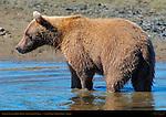 Alaskan Coastal Brown Bear Closeup, Silver Salmon Creek, Lake Clark National Park, Alaska
