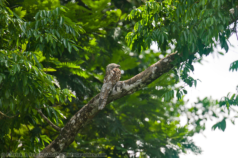 Great Potoo, Tortuguero, Eastern Costa Rica, Central America