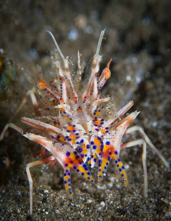 The rare Tiger Shrimp (Phyllognathia ceratophtalmus) on volcanic sand, Volcano Crater, Witu Islands, Kimbe Bay