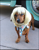 BNPS.co.uk (01202 558833)<br /> Pic: Cushzilla/BNPS<br /> <br /> ***Please use full byline***<br /> <br /> Blond bowl.<br /> <br /> A barking-mad designer has launched a range of wigs that turn pets into pop princesses including Katy Perry, Lady Gaga, Britney Spears and even Dolly Parton.<br /> <br /> Dogs and cats can also be dressed up as dragons, pilots, wizards or Prince Charming thanks to Leah Workman's wacky creations.<br /> <br /> The 40-year-old from Los Angeles spotted the trend of dressing up pets while studying in Japan - and later teamed up with husband Hiroshi Hibino to launch company Cushzilla.<br /> <br /> The pair instantly set tails wagging around the internet with their bonkers brand of pet fashion, which also features Sharon Osbourne and Sid Vicious wigs and cow and tiger costumes.<br /> <br /> Leah imports the high quality handmade wigs while costumes come from famous Japanese pet clothing designer Takako Iwasa.<br /> <br /> She says the most popular wig is the Lady Gaga, while the pilot's outfit tops the popularity charts in the costume department.<br /> <br /> Her own cats Jitters and Justus model many of the products on the company's website.