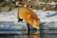 Red fox (Vulpes vulpes) gets a drink from melt water on surface of ice on frozen lake.  Winter.