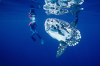 A videographer enjoys a rare encounter with a most unusual fish, a young Ocean Sunfish, Mola mola.  Found worldwide in tropical and temperate seas, these odd creatures are the largest of all bony fish, reaching lengths of 3m. and weights of 2000 kg.  San Diego, California, USA, Pacific Ocean