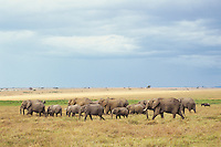 African Elephants--cow calf herd--crossing grasslands in Masai Mara, Kenya.