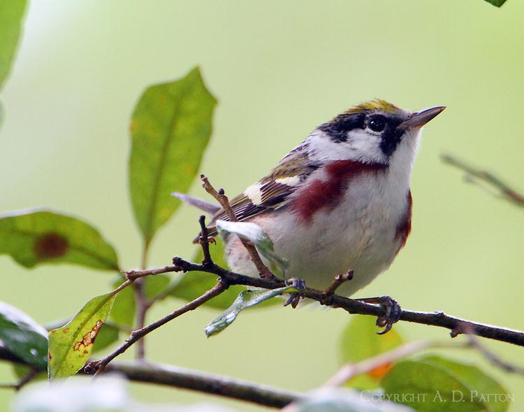Female chestnut-sided warbler