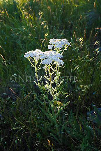 Wild Yarrow in sunlight on a grassy hill in Montana