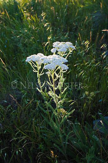 Wild Yarrow in sunlight on a grassy hill in Montana