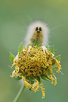 Tiger Moth, Arctiidae, Caterpillar on Golden Crownbeard (Verbesina encelioides), Willacy County, Rio Grande Valley, Texas, USA, June 2006