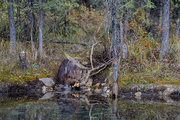 North American Beaver (Castor canadensis) carrying tree limbs back to lodge area for winter food.  British Columbia, Canada.  Fall.