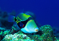 "The Reef Triggerfish (Rhinecanthus rectangulus)is Hawaii's state fish. Hawaiian name is Humuhumu-nukunuku-a-pua-a, which means """"fish with a snout like a pig""""."