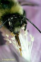 BU21-002b  Bumblebee - worker proboscis collecting nectar from flower - Bombus impatiens