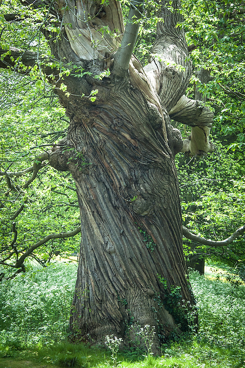 Ancient sweet chestnut tree, Rousham House and Garden.