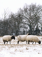 Hertfordshire - Snow scenes in Hertfordshire. Pictured - Sheep at Standalone Farm, near Letchworth - January 18th 2012..Photo by Keith Mayhew