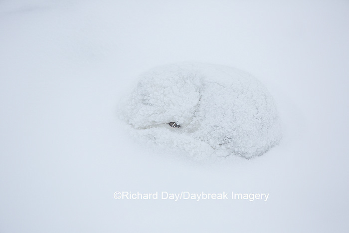 01863-01609 Arctic Fox (Alopex lagopus) curled up in winter Churchil Wildlife Management Area Churchill, MB