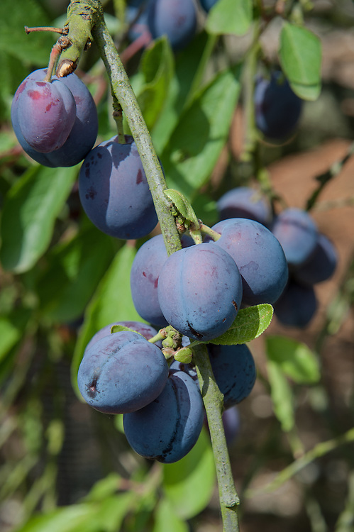 Plum 'Precoce de Tours', mid July. Also known as Damas de Tours; Noire H&acirc;tive; Prune de Gaillon; Violette de Tours. &quot;Fruit, below medium size; oval, sometimes inclining to obovate, and marked with a shallow indistinct suture. Skin, deep purple or black, thickly covered with blue bloom. Stalk, half an inch long, slender, inserted in a very slight depression. Flesh, dull yellow, rather juicy and sweet, with a rich flavour when highly ripened, and adhering closely to the stone.<br /> An excellent dessert plum, which, when shrivelled, is quite a sweetmeat; also well adapted for culinary use; ripe in the end of July and beginning of August. The tree is vigorous, hardy, and an abundant bearer. Shoots, downy.&quot; (The Fruit Manual: Containing The Descriptions And Synonyms Of The Fruits And Fruit Trees Of Great Britain by Robert Hogg, 1884)