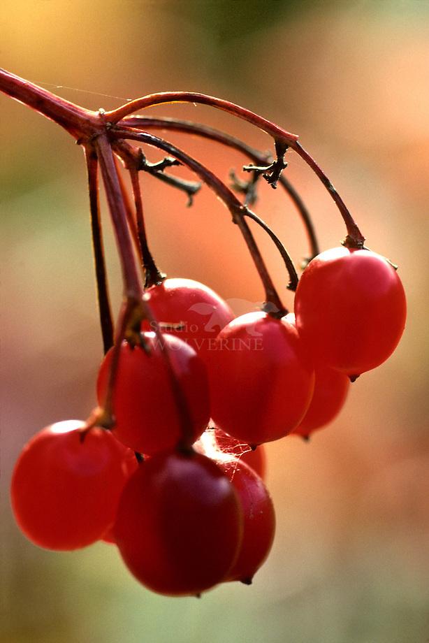 Gelderse roos (Viburnum opulus) bessen