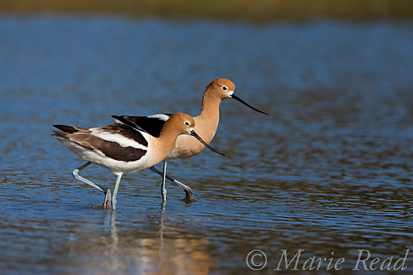 American Avocets(Recurvirostra americana), pair, Orange County, California, USA