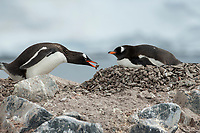 Gentoo Penguin with a Rock