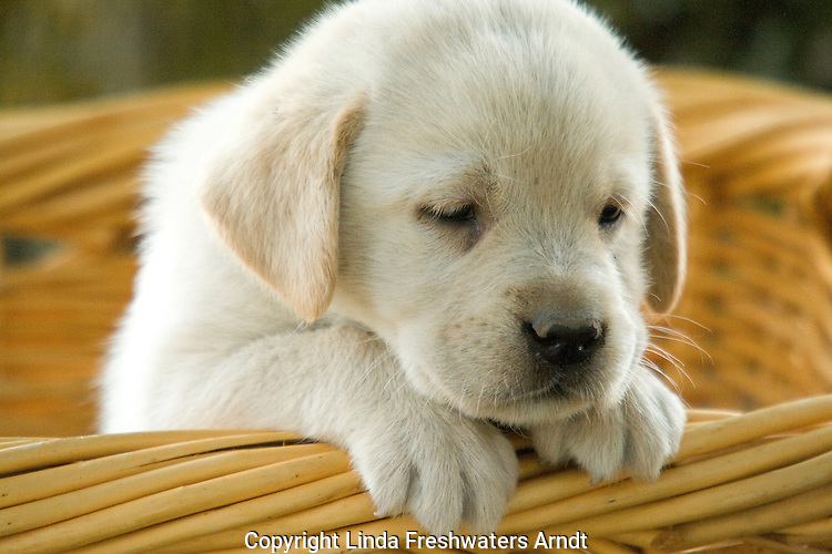 Yellow Labrador retriever (AKC) puppy looking over the edge of a basket