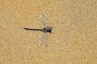 A Dragonfly sun-bathes on the shore beaches of Virginia Beach, VA..Class:    Insecta..Order     Odonata..Suborder  Anisoptera