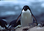 adelie penguin on Petermann Island