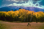 People walking in field,Autumn Aspen Trees,San Francisco Peaks,Arizona