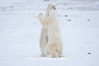 01874-11820 Polar Bears (Ursus maritimus) sparring / fighting in snow, Churchill Wildlife Management Area, Churchill, MB Canada