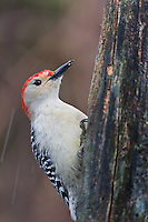 Red-bellied Woodpecker (Melanerpes carolinus), perched on a tree stump in the rain. Michigan, USA