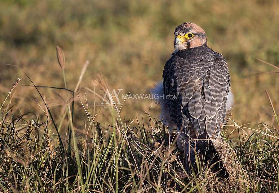 It was a treat seeing this small raptor at close range in the crater.