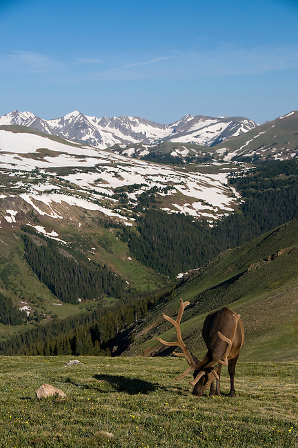 American elk, wapiti, Cervus elaphus, bull, antlers, alpine, tundra, Never Summer Mountains, morning, wildlife, mammal, nature, summer, July, Trail Ridge, high elevation, Rocky Mountain National Park, Colorado, USA
