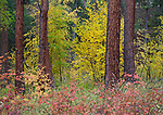 Idaho, North, Clearwater National Forest. Evergreen trees in autumn foliage after rain.