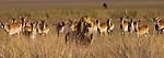 African lion and lechwe, Duba Plains, Botswana