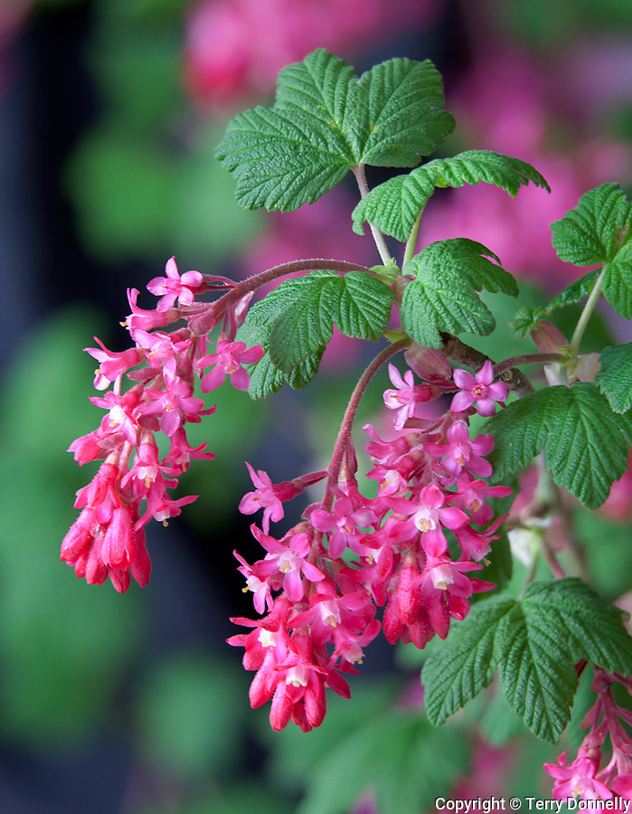 Vashon Island, WA<br /> Red-flowering currant (Ribes sanguineum),  King Edward VII racemes blooming in early spring