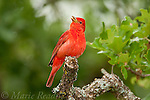 Summer Tanager (Piranga rubra) male singing, Wichita Mountains National Wildlife Refuge, Oklahoma, USA<br /> (Slight bill retouch)