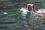 California Sea Lions playing in the water near the island San Pedro Martir in the Sea of Cortez, Baja California Mexico