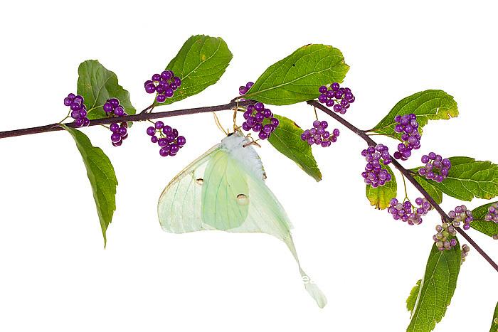 30040-00108 Luna Moth (Actias luna) on American Beautyberry (Callicarpa americana) on white background, Marion Co., IL
