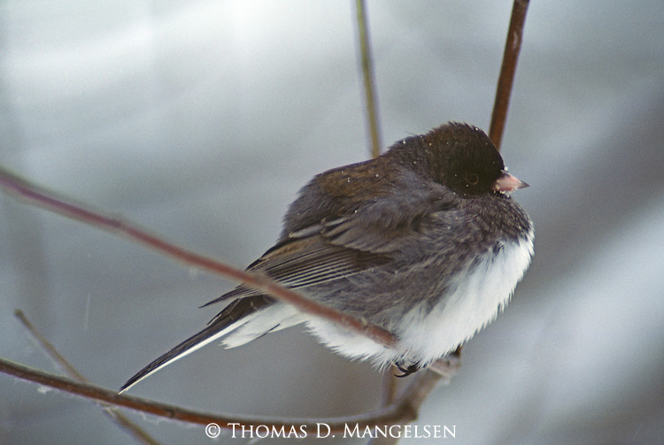 Dark-eyed junco perched on a tree branch.